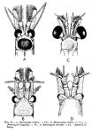 Part: Head dorsal