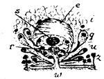 Monocelis psilus