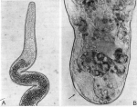 Polystyliphora darwini