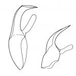 Polystyliphora eilatensis