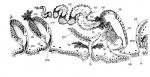 Polystyliphora persimilis