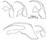 Polystyliphora portistephensii