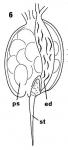 Placorhynchus doei