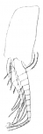 Part: Pleopod 2