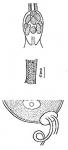 Chlamydorhynchus evekumiensis