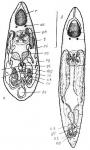 Diplosiphon tetrastylus