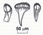 Mityuscha parvulus