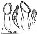 Rhynchokarlingia pomarkovae