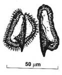 Reuterella mazepovae