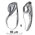Riedelella izhboldinae
