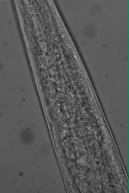 Sabatieria sp., Part: pharynx