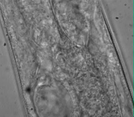 Sabatieria sp., Part: cardia