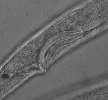 Sabatieria sp., Part: spicules