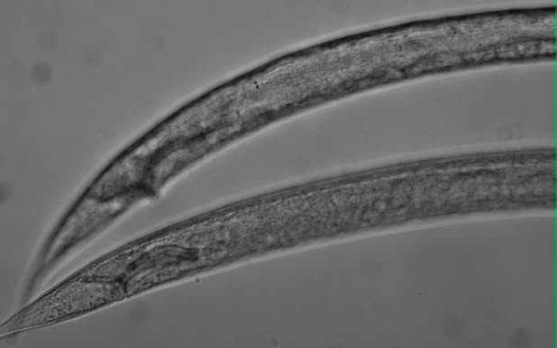 Sabatieria sp., Part: posterior
