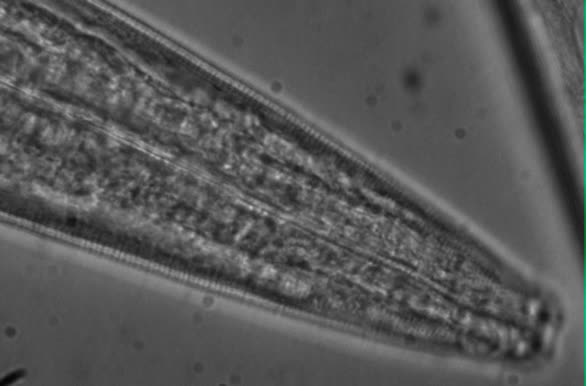 Sabatieria sp., Part: lip