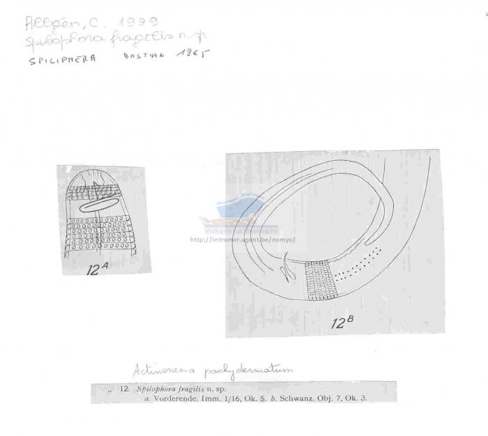 Actinonema pachydermatum