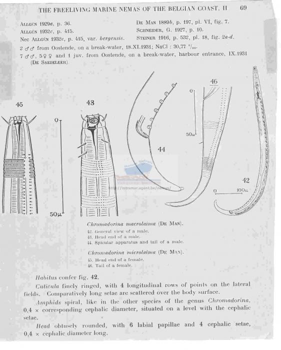 Chromadora macrolaima