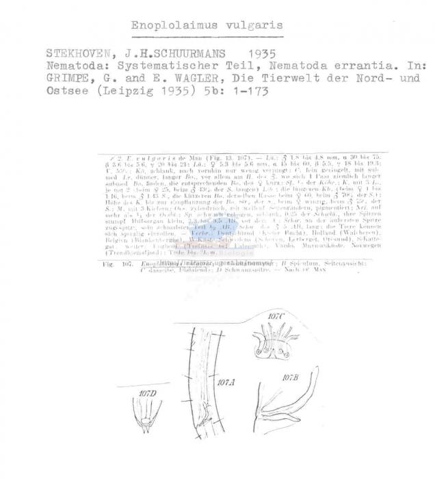 Enoplolaimus vulgaris