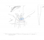 Nematoda (roundworms)
