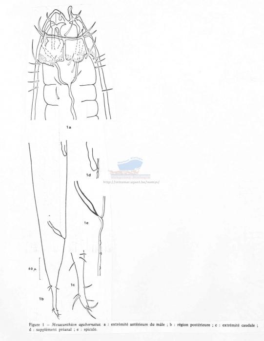 Mesacanthion agubernatus