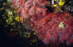 Corallium rubrum (Linnaeus, 1758)