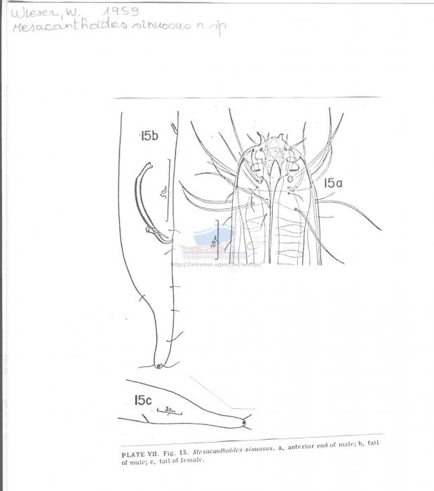 Mesacanthoides sinuosus