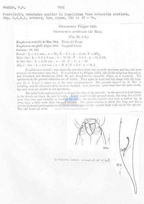 Oxyonchus australis