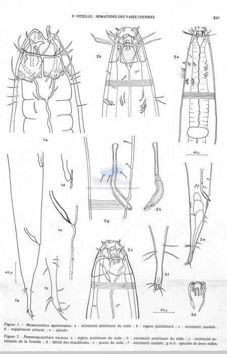 Paramesacanthion truncus