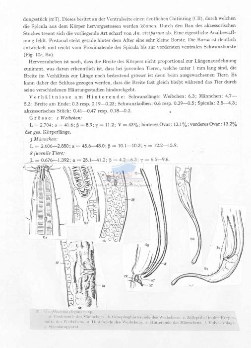 Anoplostoma elegans