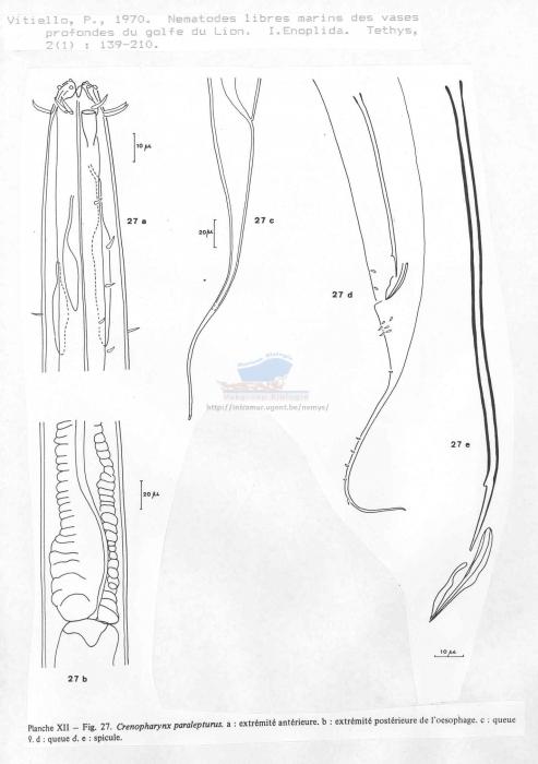 Crenopharynx paralepturus