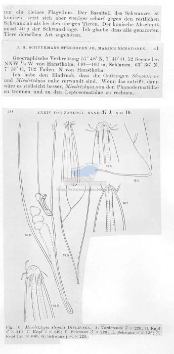 Micoletzkyia elegans