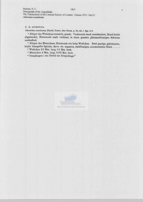 Anticoma acuminata