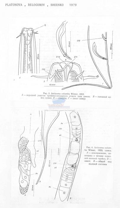 Anticoma columba