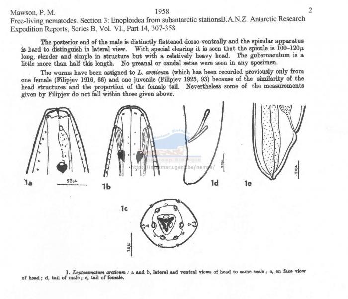 Leptosomatum arcticum