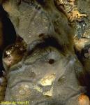 Mycale (Carmia) micracanthoxea