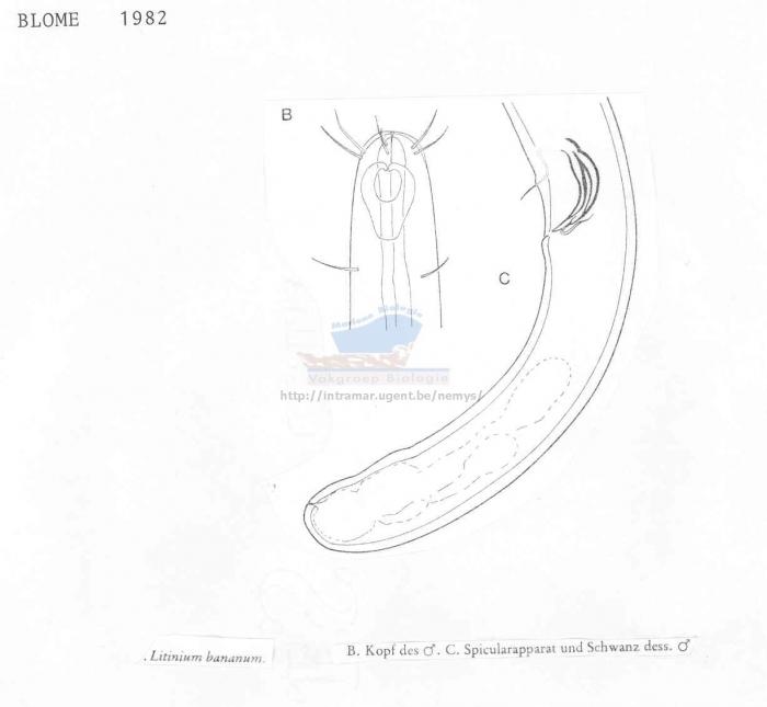 Litinium bananum