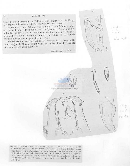 Oncholaimus brachycercus
