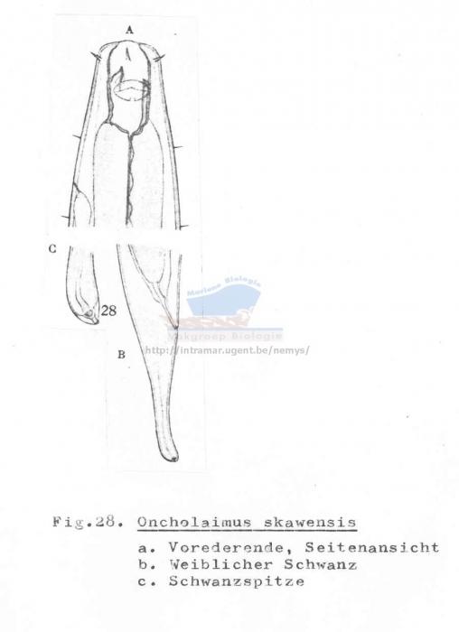Oncholaimus skawensis