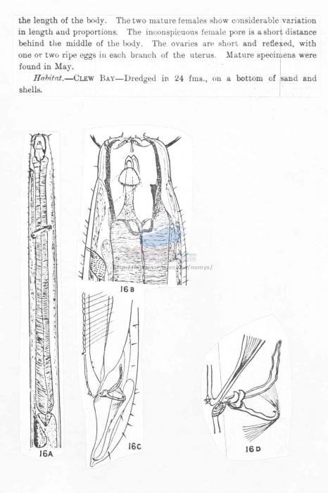 Pontonema macrolaimus