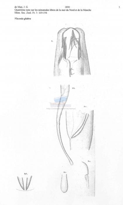 Viscosia glabra