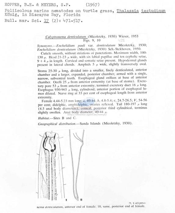 Calyptronema denticulatum
