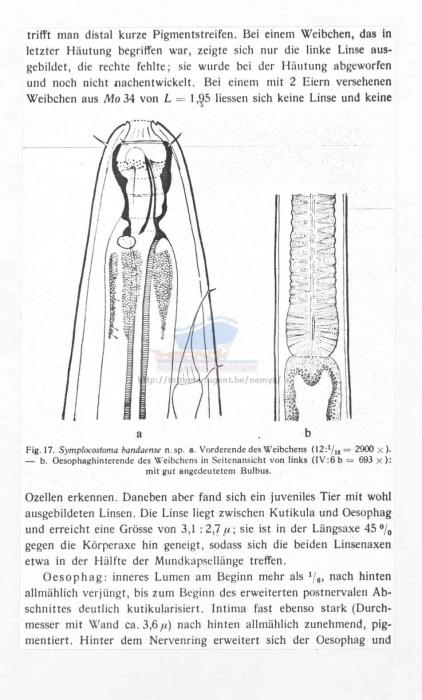 Symplocostoma bandaense