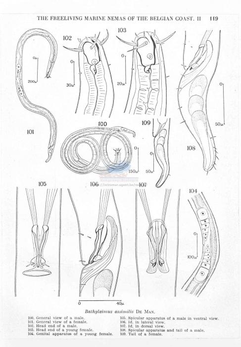 Bathylaimus australis