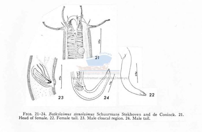 Bathylaimus stenolaimus