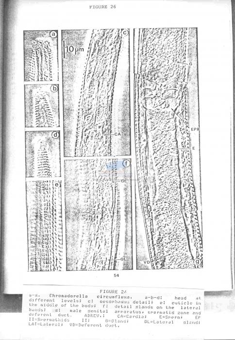 Chromadorella circumflexa