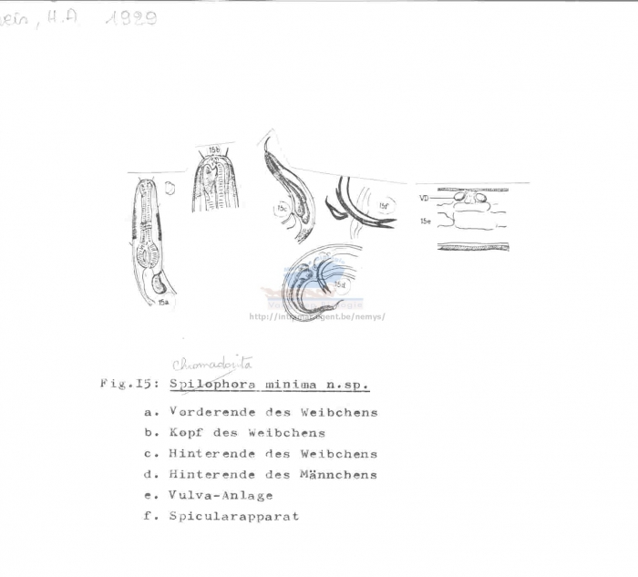 Chromadorita minima