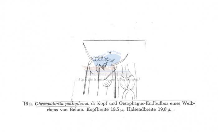Chromadorita pachydema