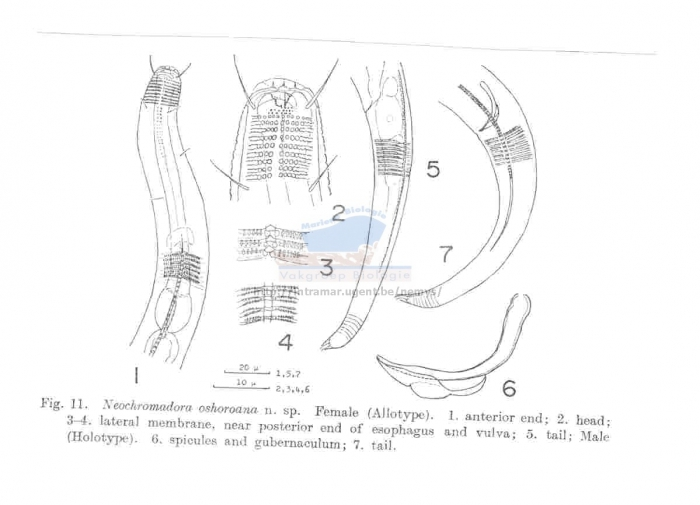 Neochromadora oshoroana