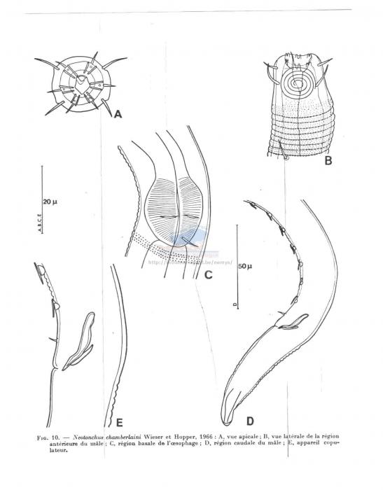 Neotonchus boucheri
