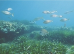 Carry reserve: sparids (Diplodus sargus, Sarpa salpa) in a Posidonia meadow mixed with rocks.